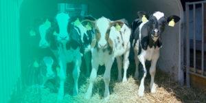 prodotti per gestione vitelli